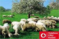 Satılık 500 adet kangal ırkı damızlık koyun
